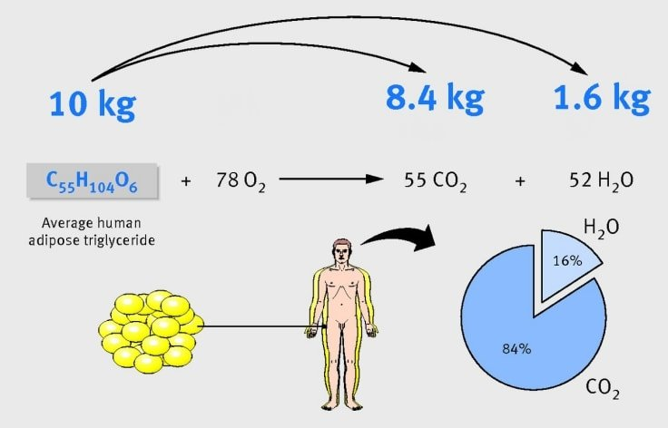 Fat Turns Into Water And Carbon Dioxide