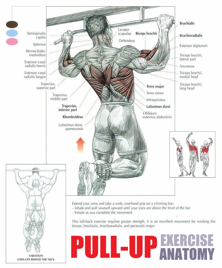 Pull-Up Exercise Anatomy