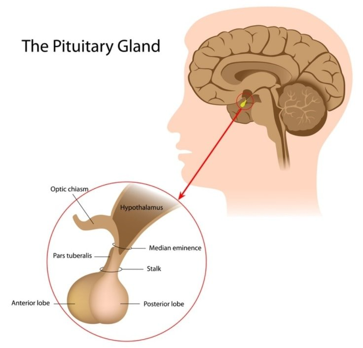 Human Growth Hormone HGH - Pituitary Gland