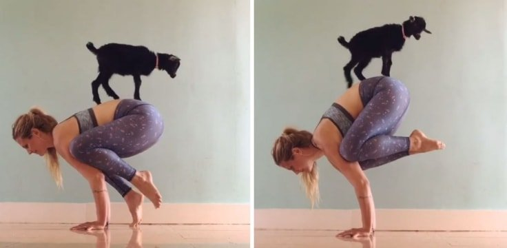 Baby Goat Interrupting Yoga Session