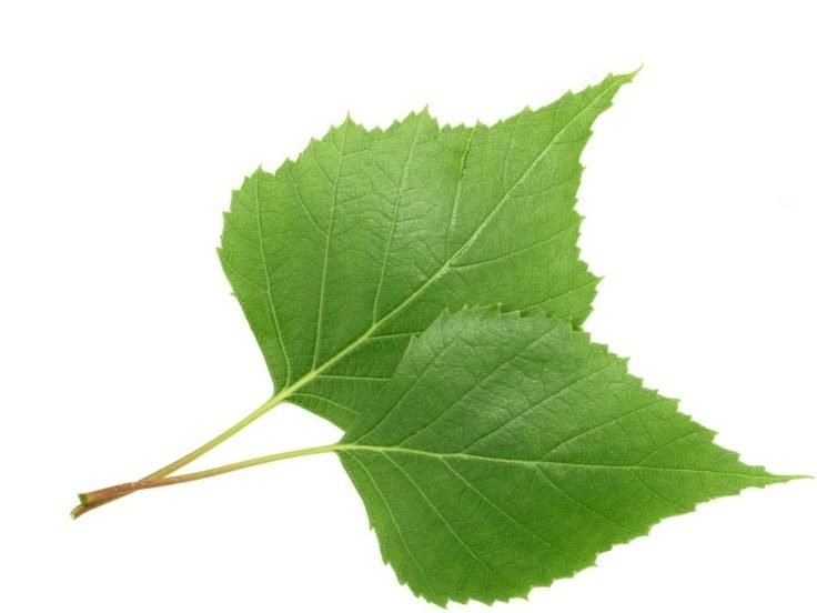 Natural Pain Relievers - Birch Leaf