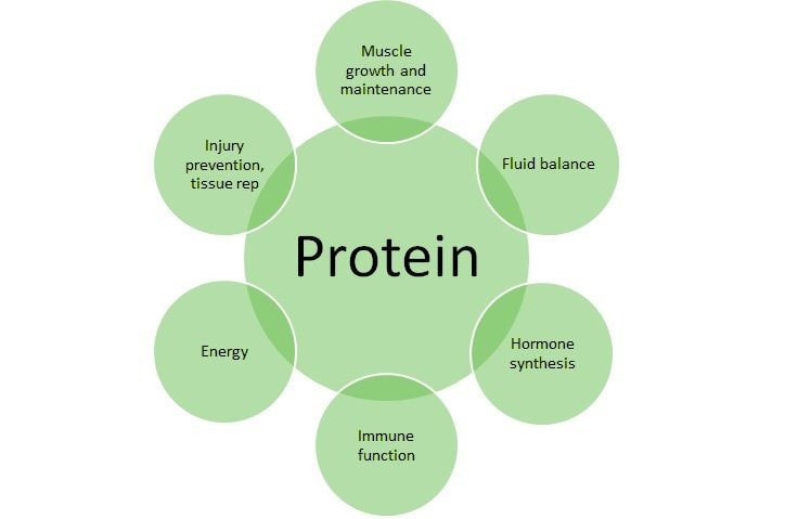 The Role Of Protein