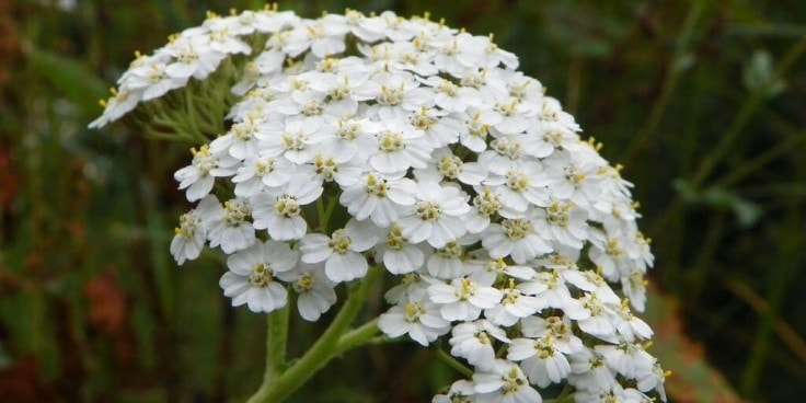 Herbs For High Blood Pressure - Yarrow