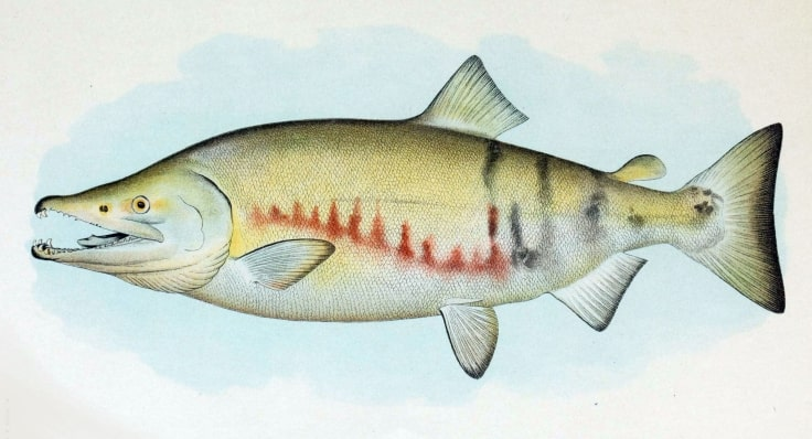 Chum Salmon Drawing